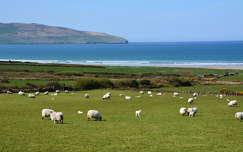 juh tenger háziállat írország