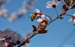 Méh, szilvafa, tavasz, ég