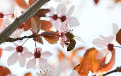 Méh, virágpor, szilvafa, tavasz