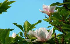 Magnólia, tavasz, virág
