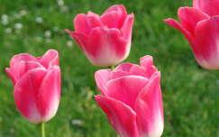 Tulip�n, tavasz