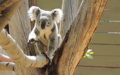 Koala a Budapesti Állatkertben