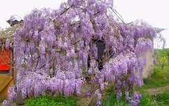 tavasz tavaszi virág akácvirág