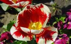 Tulip�n