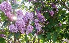 tavaszi virág fény orgona