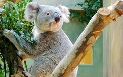 Koala mackó