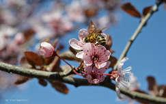 Tavasz, méh, szilvafa
