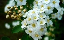 Gyöngyvessző virága