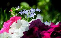 tavasz petúnia
