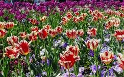 Tulip�nos kert