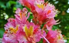 Vadgesztenye virág