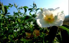 tavaszi virág vadrózsa vadvirág