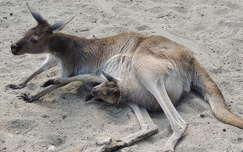 Kenguru zsebibaba a budapesti Állatkertben