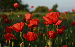 vadvirág pipacs virágmező tavasz