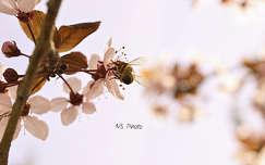 Alulról a világ (méh, szilvafa, tavasz)