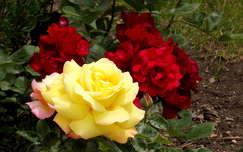 Sárga és vörös rózsa