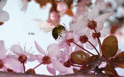 Méh, szilvafa virága, tavasz