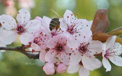 Bújócska (méh, szilvafa virága)
