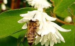 Méhecske munkában
