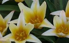 tulip�nok