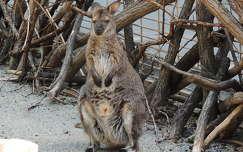 Bennett kenguru