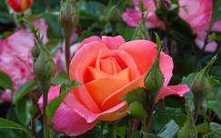 bimbó rózsa nyári virág