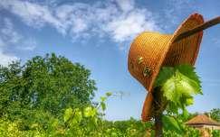 nyár szőlőültetvény