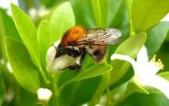 Méhecske nyakig a mandarin virágában.