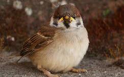 madár madárfióka veréb