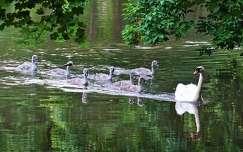 hattyú állatkölyök madárfióka nyár vizimadár tükröződés