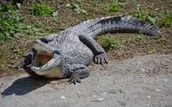 krokodil hüllők