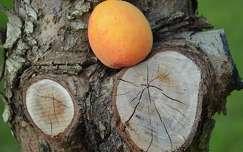 barack gyümölcs fa