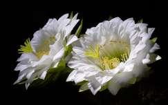 Kaktusz - Trichocereus