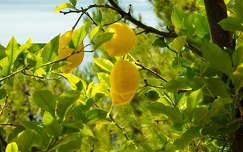 gyümölcs citrom