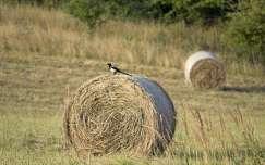 madár mező nyár szarka