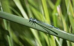 rovar szitakötő