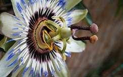 Golgota virág szerkezete