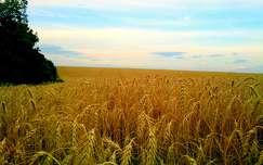 nyár gabonaföld kalász