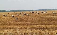 nyár gabonaföld madár gólya