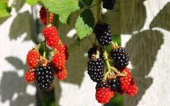szeder árnyék gyümölcs