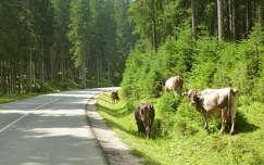 Legelésző tehenek a Triglav Nemzeti Parkban, Szlovénia