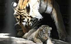 Tigrisek Nyíregyházán Fotó: Facebook oldal