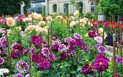 dália nyári virág kertek és parkok