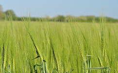 gabonaföld kalász