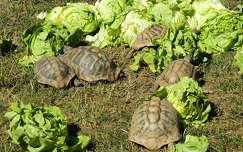 Salátázó teknősök