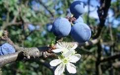 kökény virága és termése egyszerre (szeptember)