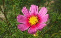 lepkevirág