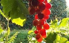 ősz fény szőlő gyümölcs