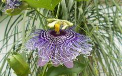 Golgota virág