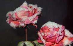 zúzmara rózsa
